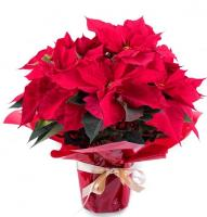 6561 - Poinsettia Gift Wrapped