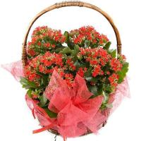 3630 - Red Kalanchoe Plants