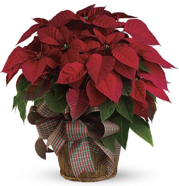 3640 - Christmas Poinsettia