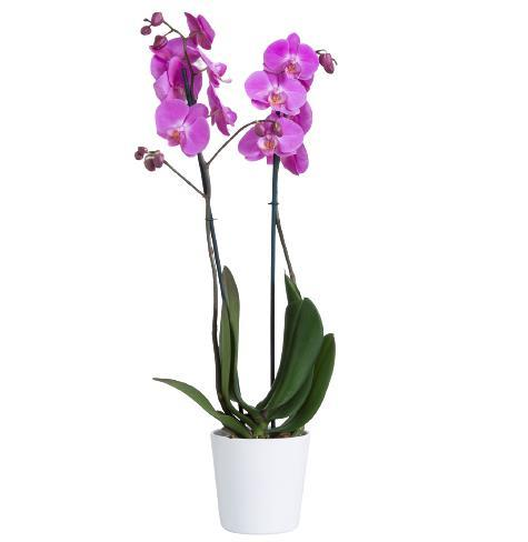 8776 - Pink Orchid